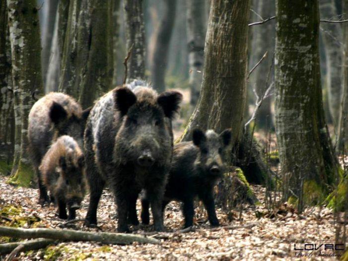 Случај дивљих свиња као огледало рада МУП-а